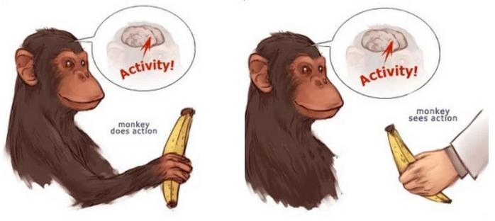mirror_neuron_system-monkeys
